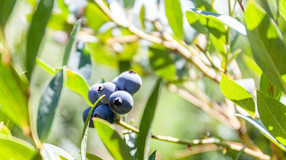 gpgraders-cust-jolly-berries-image-8