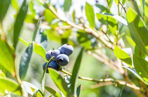 Jolly Berries