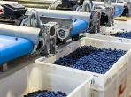 gpgraders-blueberry-sorting-is the next move