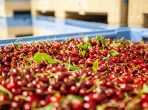 gpgraders-GP Graders delivers huge advances in cherry and blueber